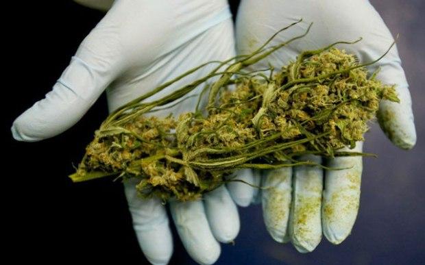 thc-cbd-marijuana